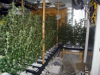 INDOOR CANNABIS GROW