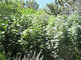 Tall marijuana plants found at the grow site.