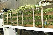 Truck containing the bulk of the 41,000 plants.