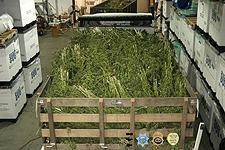 A truck and a trailer in foreground used to haul the marijuana to evidence.