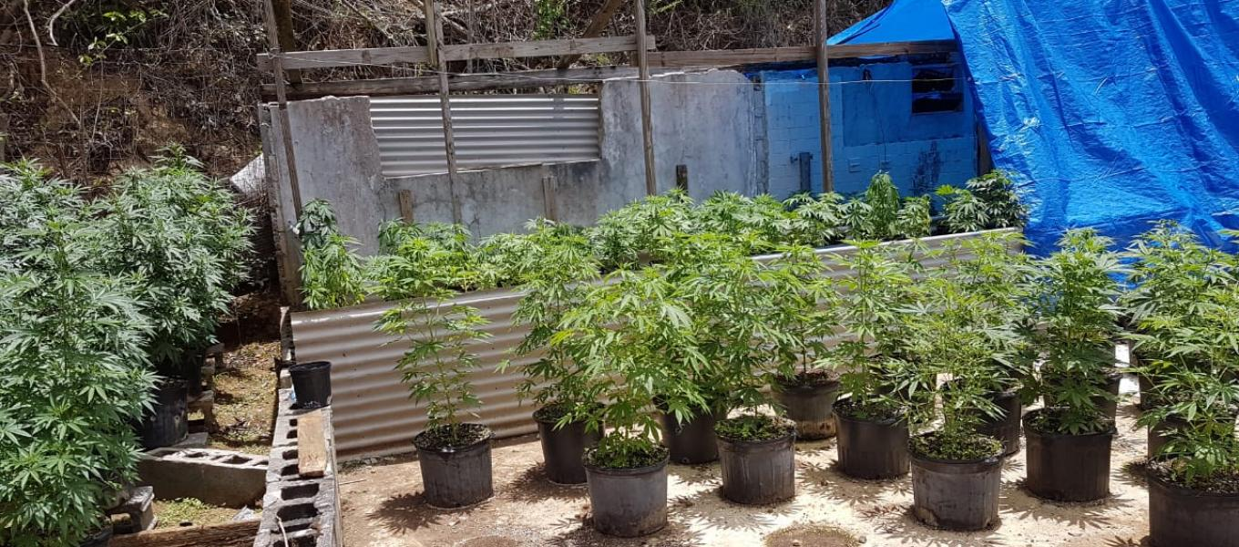Outdoor marijuana grow