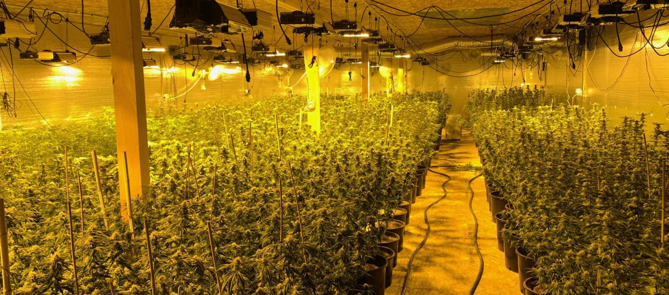 indoor_marijuana grow_yellowlights