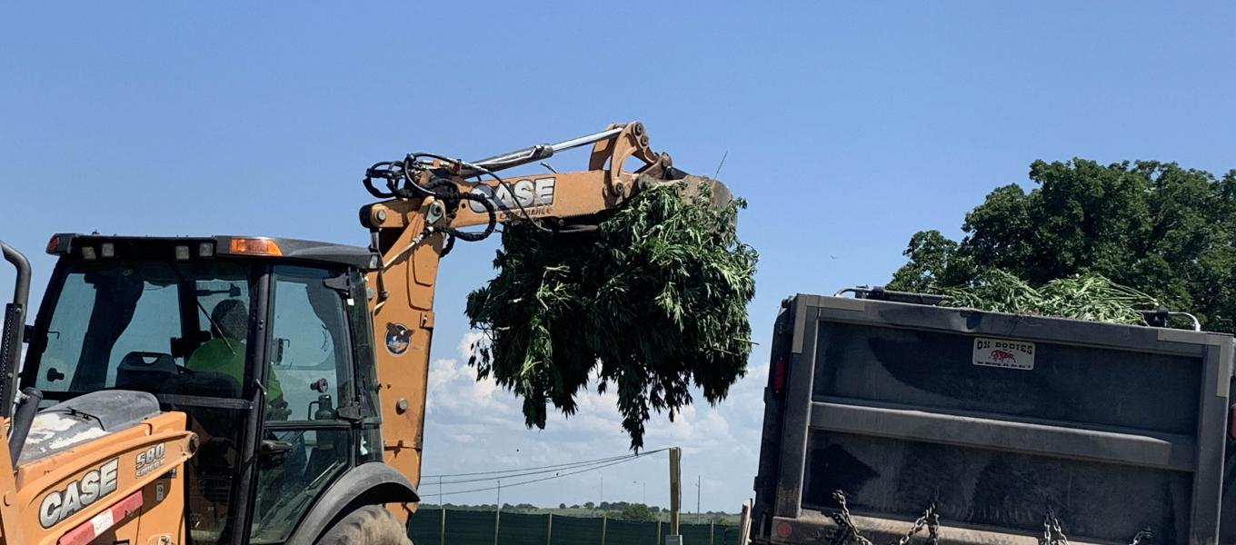 backhoe filling dump truck bed with marijuana